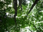 新庄村森林セラピー基地ブナ